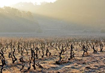 vignes chateau sainte croix à carcès en hiver